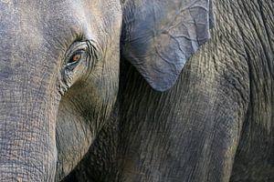 Olifant in close up van Antwan Janssen