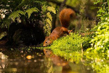 Rode eekhoorn van Leo Kramp