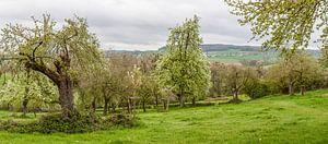 Panorama van de Belletboomgaard tijdens de bloesem