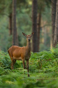 Rothirsch in einer Waldlandschaft mit Farnen von Jeroen Stel