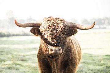 Schottischer Highlander-Stier von Rosalie Oosterom