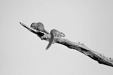 Squirls on a branch sur