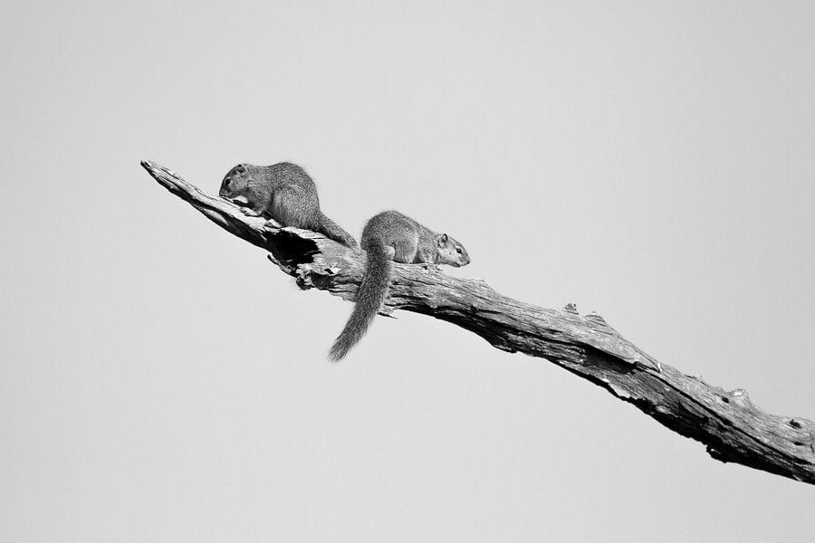 Eekhoorns op een tak