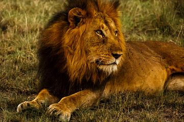 Leeuw in de late avondzon