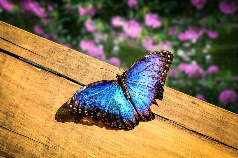 Blauwe Morpho Vlinder op een houten plank van Tim Abeln