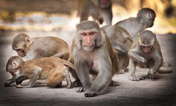 Een sluwe makaak en een bende van haar kinderen... van Michael Semenov