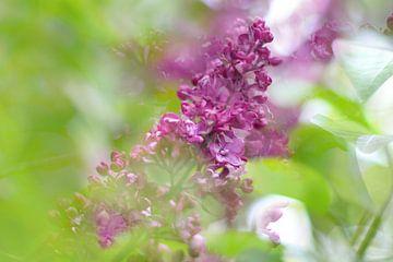 Frühlingsfliederblüten von Marianna Pobedimova