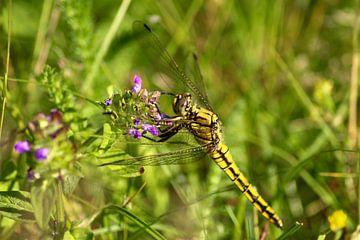 Gewone oeverlibel op paarse bloemetjes van Shirley Douwstra