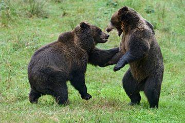 Junge Bären, Europaeische Braunbären ( Ursus arctos ) käbbeln sich. von wunderbare Erde