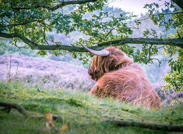 Schotse hooglander sur Erica Kuiper