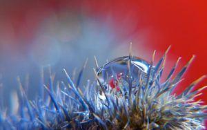 Druppel op blauwe distel