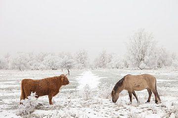 Ein schottischer Highlander und ein Konik-Pferd in einer Winterlandschaft von Bas Meelker