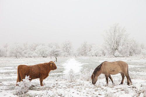 Een Schotse Hooglander en een Konikpaard in een winter landschap