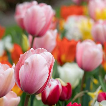 Tulp (Tulipa) van Alexander Ludwig