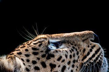 LP 71301206 Seitenprofil eines Leoparden von BeeldigBeeld Food & Lifestyle