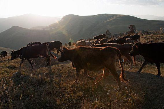 Kudde koeien wordt door de herder naar het dal gebracht. van Anne Hana
