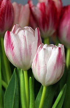Tulpen duo sur