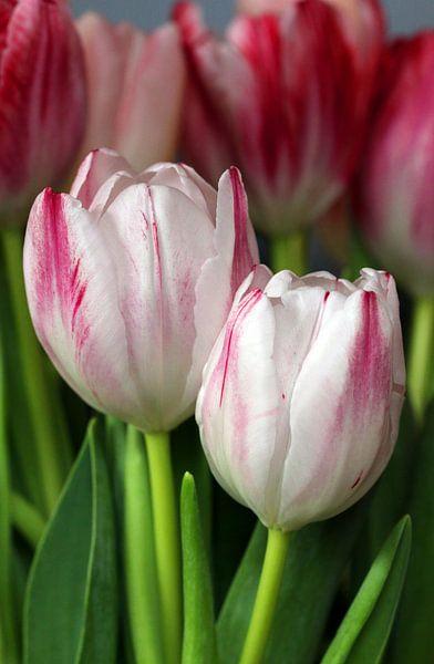 Tulpen duo van Rosi Lorz