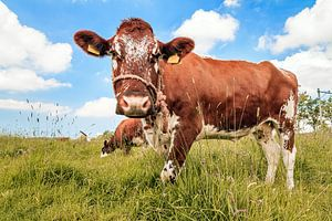 Bruine koe in een veld in de zomer