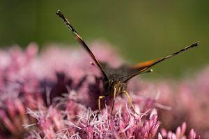 Macro van een vlinder