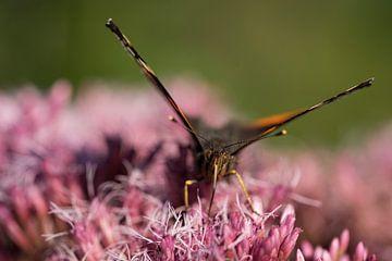 Macro van een vlinder van Marloes van Pareren