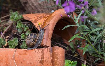 een gewone bruine tuinslak kruipt over een stenen pot in de tuin van Compuinfoto .