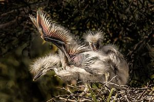Jonge reigers proberen hun vleugels uit in hun nest