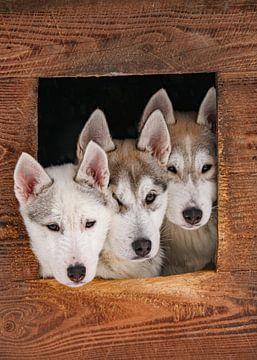 Drie husky puppy's van Melissa Peltenburg