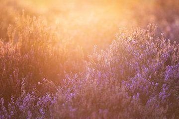 Sonnenaufgang über der Heide der Eden (2:3) von Lolke Bergsma