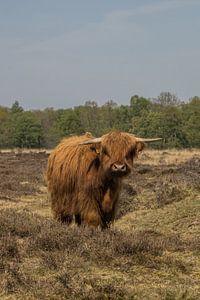 Schotse Hooglander Gasterse Duinen van Loes Fotografie