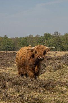 Schottischer Highlander in den Gasterseedünen von Loes Fotografie