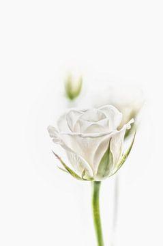 De witte roos in al zijn schoonheid. sur Ellen Driesse