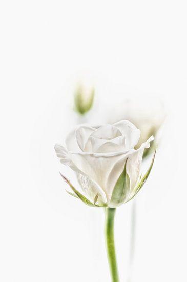De witte roos in al zijn schoonheid.