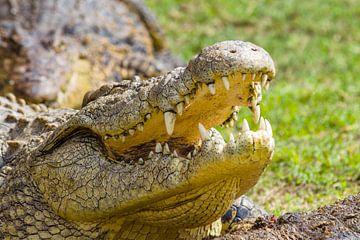 krokodil von John van Weenen