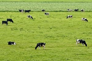 Grazende koeien