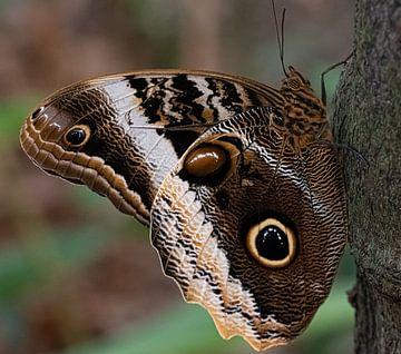 Close-up grote bruine vlinder Morpho menelaus van Marjolein van Middelkoop