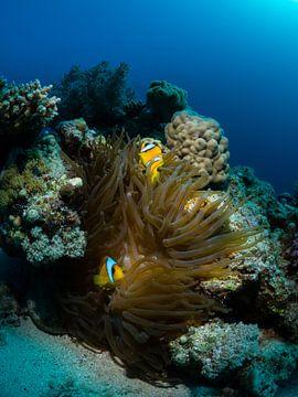Clownvissen op hun anemoon in de Rode Zee van René Weterings