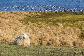 Schaf und Wildgänse im Naturschutzgebiet Ellenbogen, Sylt von Christian Müringer