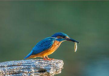 IJsvogel met prooi  /  Kingfisher with catch van Wim Kanis