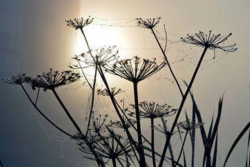 Ochtenddauw bij mistige zonsopkomst op berenklauwen met spinnewebben van Trinet Uzun