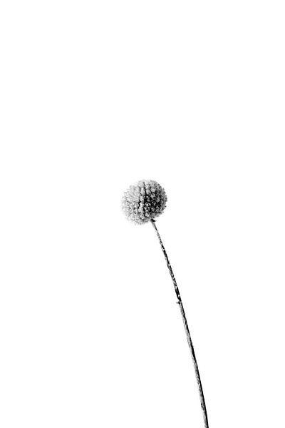 Zwart wit stilleven bloem van Annieke Slob