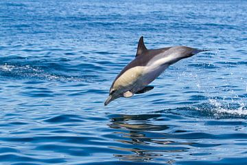 Jumping Dolphin von Maarten Groot