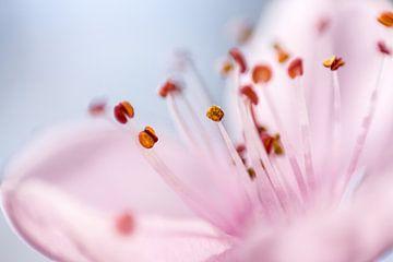 Blutpflaumenblüte von Severin Frank Fotografie