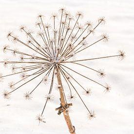 Heracleum Mantegazzianum, reuze gedroogde berenklauw in de sneeuw van Mayra Pama-Luiten