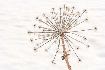 Heracleum Mantegazzianum, reuze gedroogde berenklauw in de sneeuw