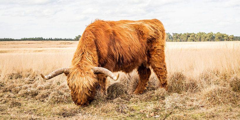 Schottischer Hochländer grasend auf hohem Gras von MICHEL WETTSTEIN