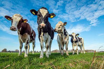 nieuwsgierige koeien van miranda tijssen