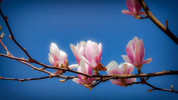 Gewone Magnolia van Jan van der Knaap