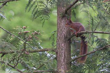 Rotes oder gewöhnliches Eichhörnchen auf der Lauer (Sciurus vulgaris) von Eric Wander
