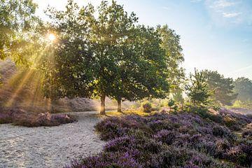Bloeiende heide verlicht door de zon van Martijn Joosse